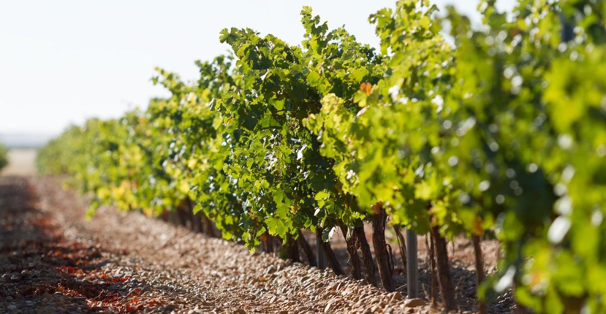 viñedo-oro-de-castilla